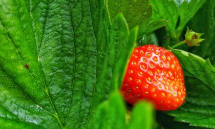 Erdbeeren selber pflücken – 3 Spots in Stormarn